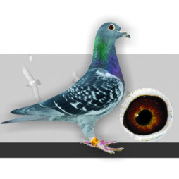 A&M Vanhee Racing Pigeons